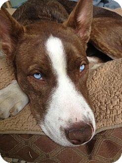 Sky - Husky/Basenji Mix | I LOVE PUPPY DOGS! | Pinterest
