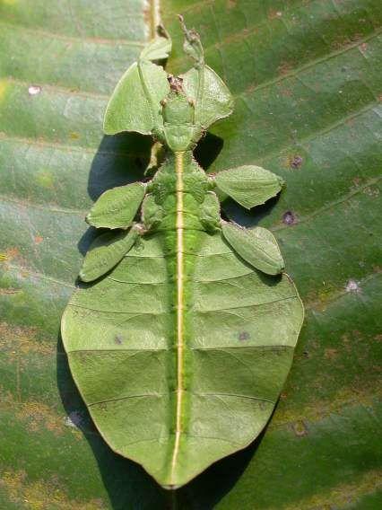 Phyllium sp., foto por Sandilya Theuerkauf, Wynaad, 2006