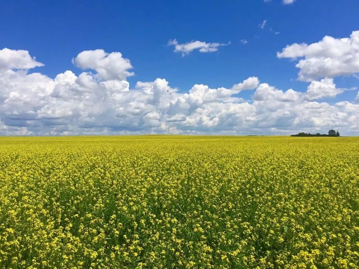 Sea of Canola Flowers through the eyes of xke
