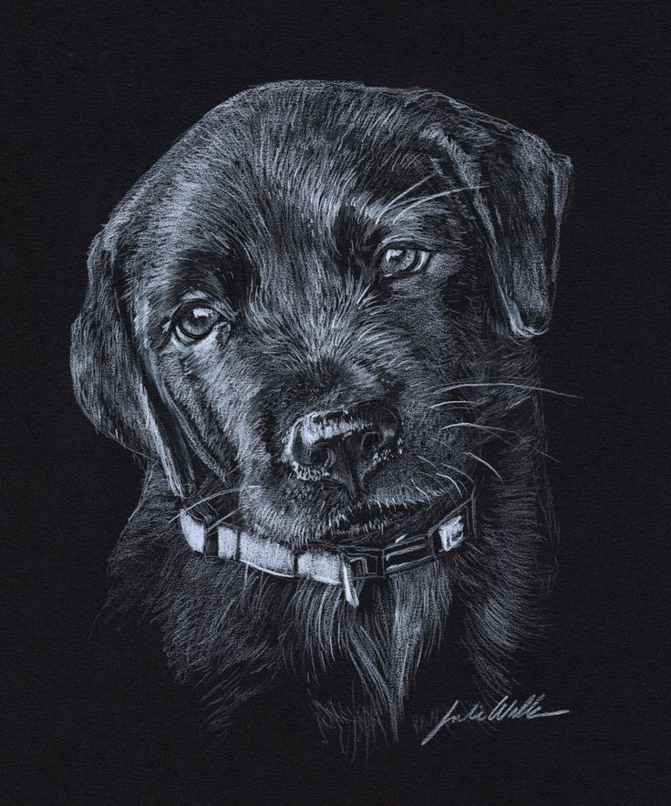 Black Lab Puppy Colored Pencil On Black Paper Willanswild Com Dog Drawing Pet Portraits Black Lab Puppies