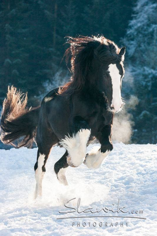 Looks like Shire horse leaping in the snow.