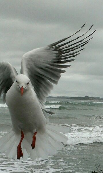 #Beach #PointLonsdale #Seagull