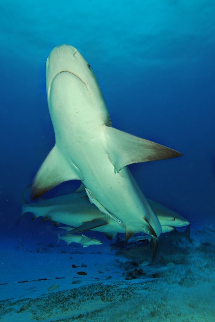 best images about orca great white sharks dolphins on bullsharks at playa carmen shark hunters