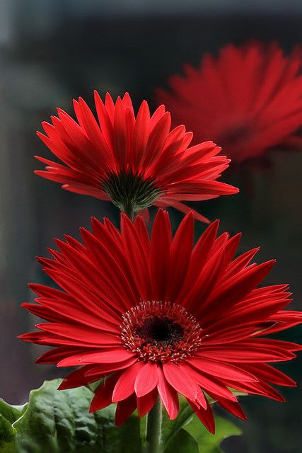 ~~Gerbera on the windowsill by Lord V~~