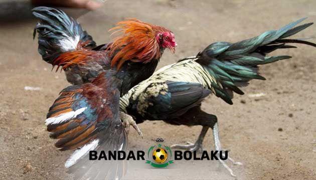 Ciri Khas Ayam Bangkok Aduan Pukul Saraf Mematikan Bangkok Jenis Dunia