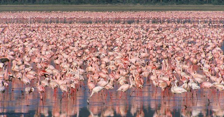 Flamingos passeiam no Parque Nacional de Lake Nakuru, no Quênia. Conhecidos pelos grandes rebanhos de flamingos, a reserva é um santuário para mais de 450 espécies de aves