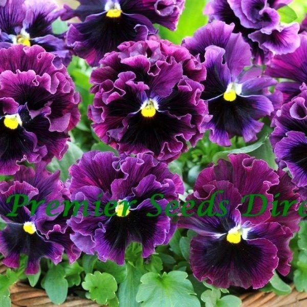 Pansy Winter Flowering Frizzle Sizzle F1 Burgundy Pansies Bloom Flowers