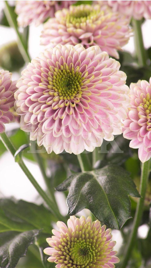 Chrysanthemum Santini Doria Pink