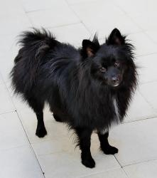 Bogey: Schipperke, Dog; Sebastian, FLHe is looking for an active family, loves to run and play, good with other dogs, cats and cats. Adult children only, he can be possessive over things, including food and has a dominant breed personality.