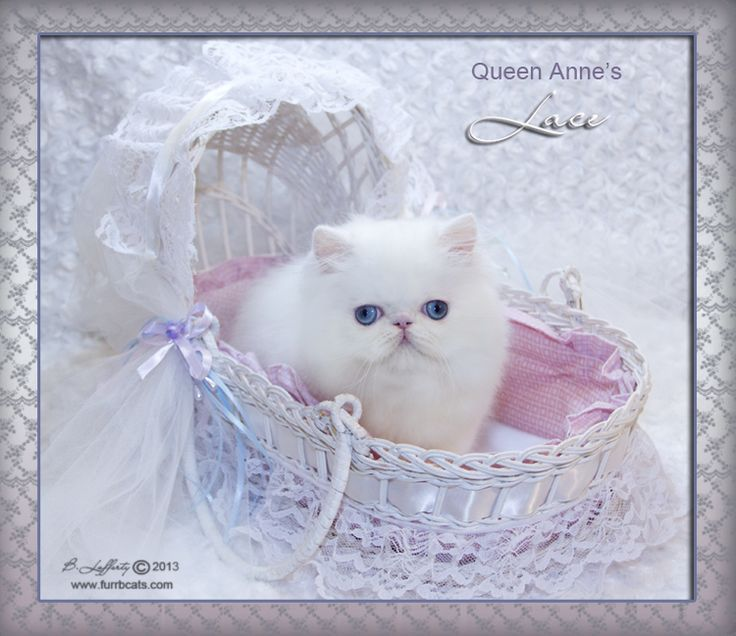 persian-cats-for-sale-white-persian-cats.jpg (736×636) #persiancatdollface