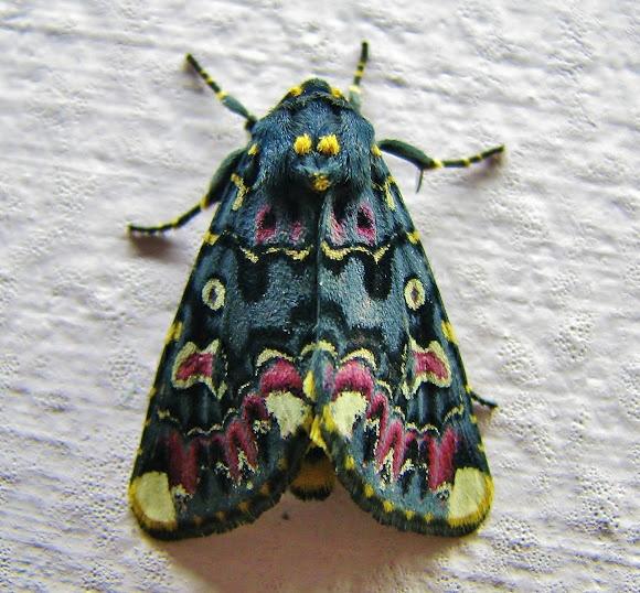 Lilly moth