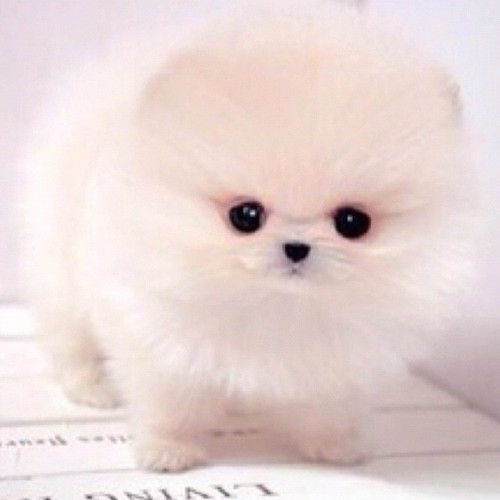 The gallery for --> White Pomsky Puppy