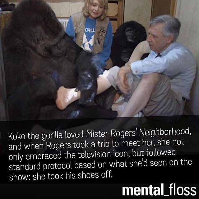 Koko the gorilla loved Mister Roger's Neighborhood.