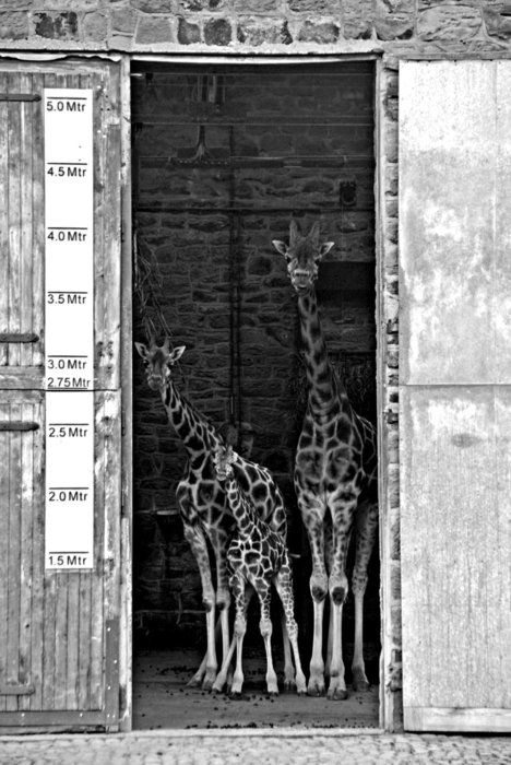 A family of giraffes looking out through door at Chester zoo.