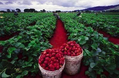 El ambiente es los campos de fresas en California, y campos the uvas en Fresno.