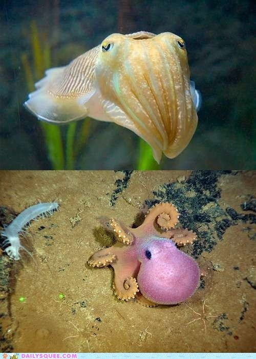 Who knew a baby cuttlefish was so cute...and the octopus....adorbs.