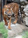 Tiger Royalty Free Stock Photography - 9641347