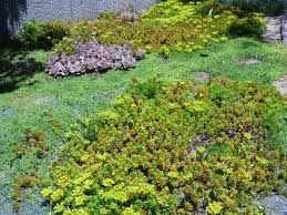 Image result for sedum ground cover garden