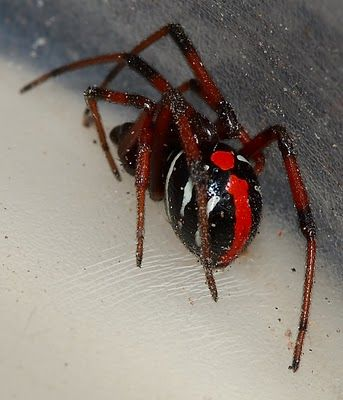 Female Northern Black Widow Spider Don't mess with this one.  Step on it!!   At least he is easily identified.