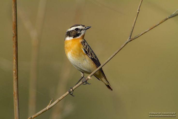 Het paapje (Saxicola rubetra) is een kleine zangvogel, die vroeger werd ingedeeld bij de familie van de lijsterachtigen, Turdidae. Volgens de huidige inzichten behoort de vogel tot onderfamilie van de saxicolinae en de familie van de vliegenvangers (van de Oude Wereld), Muscicapidae. Het paapje is nauw verwant met de roodborsttapuit (Saxicola torquata). De wetenschappelijke, Latijnse, naam van het paapje betekent roodachtige bewoner van rotsen.