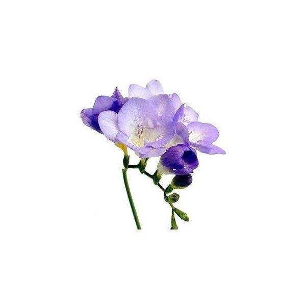 flowers for flower lovers. Freesia flowers pictures. ❤ liked on Polyvore featuring home, home decor, floral decor, flowers, fillers, purple, backgrounds, flores, flower home decor and flower stems