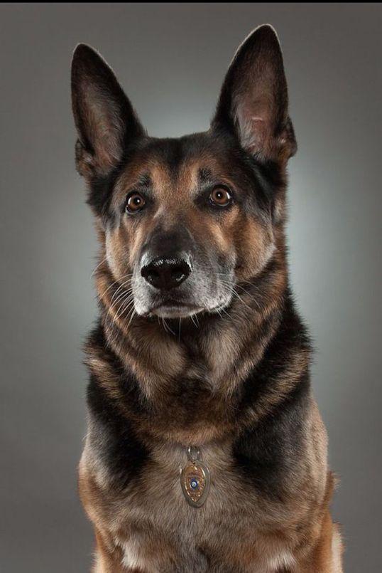 Фото: Немецкая овчарка. Моя слабость и радость. #хаски #Husky #Dogs