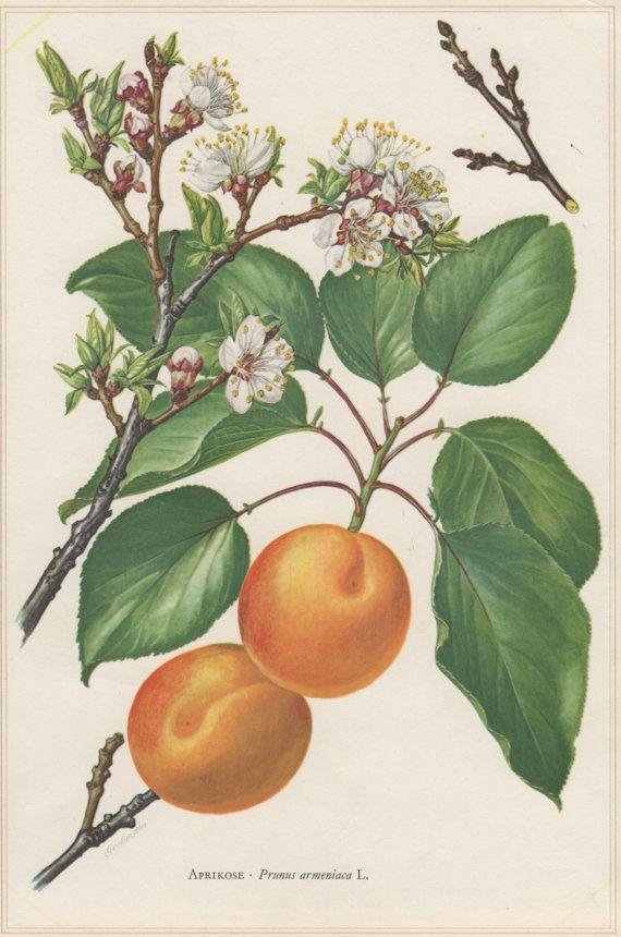 1960 Vintage Botanical Print Apricot Tree Prunus by Craftissimo