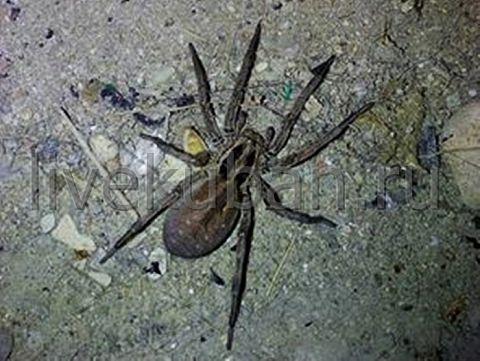 Жителя Кубани шокировал гигантский паук