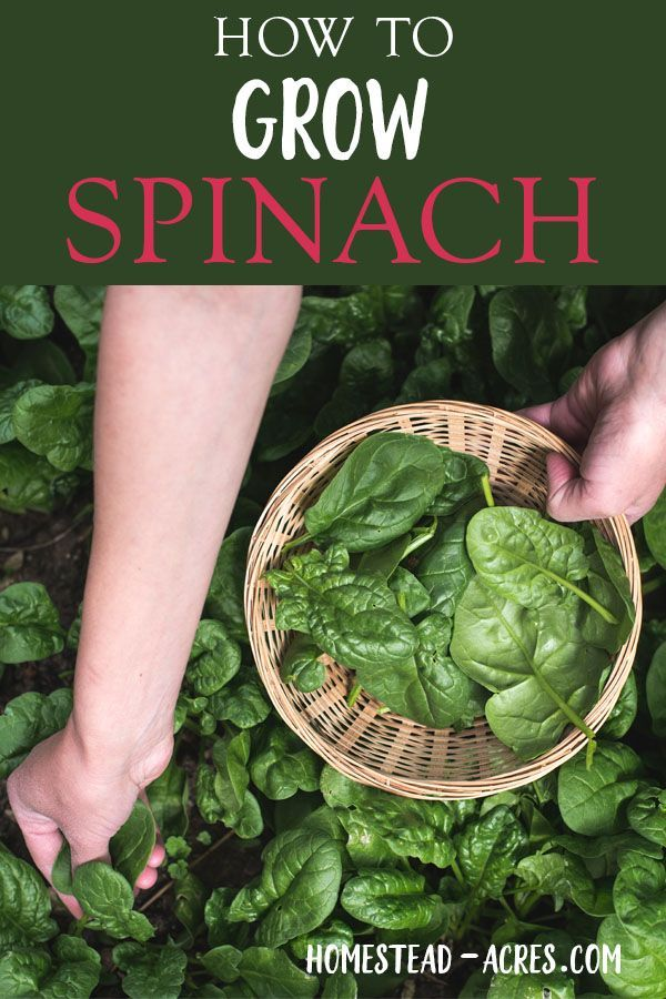Growing Spinach How To Plant Grow And Harvest Spinach Growing