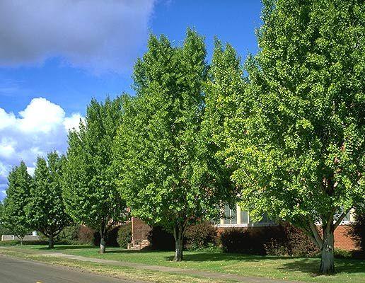 ginko tree http://oregonstate.edu/dept/ldplants/images/gibi63.jpg