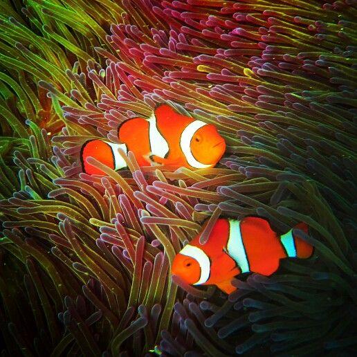 Nemo fish of great barrier reef