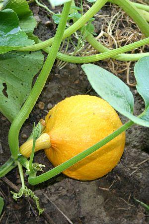 25+ Best Ideas About Kürbis Pflanzen On Pinterest   Kürbis Anbau ... Gartentipps Winter Beachten