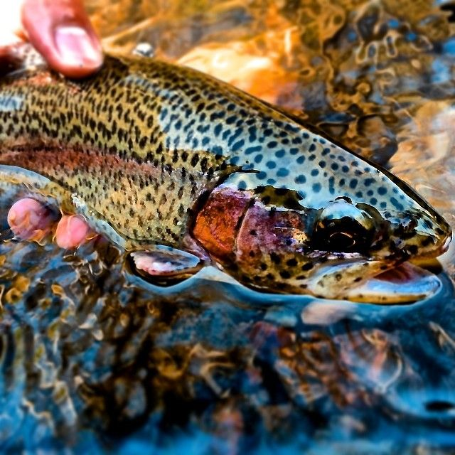 1509 best images about trout fishing on pinterest the for Best trout fishing in pa