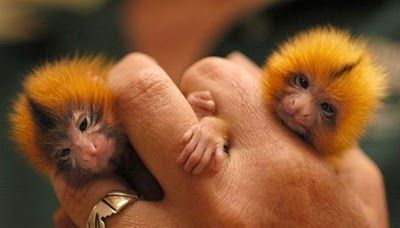 """These finger monkeys are native to the rain forests of Brazil, Peru, Bolivia, Ecuador and Colombia. Finger monkeys are, in fact, pygmy marmosets. They are also known by the names """"pocket monkey"""" & """"tiny lion."""" This cute little primate hugs and holds onto your finger so tight that it pulls on your heartstrings and makes you wish you could take it home with you. It is the tiniest living primate in the world. They belong to the family Callitrichidae, species Cebuella and genus C. Pygmaea."""