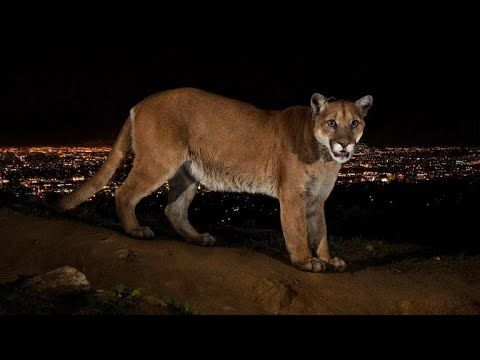 Hollywood mountain lions to roam in wildlife habitat - YouTube