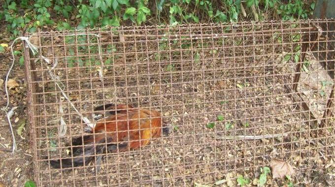Gabbia armata per la cattura di volpi nel campo di casa: scatta la denuncia