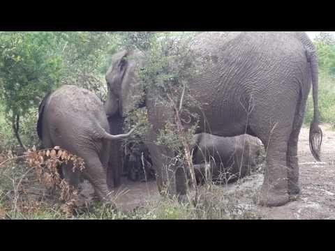 Funny Elephant calfs kicking smack down way - YouTube