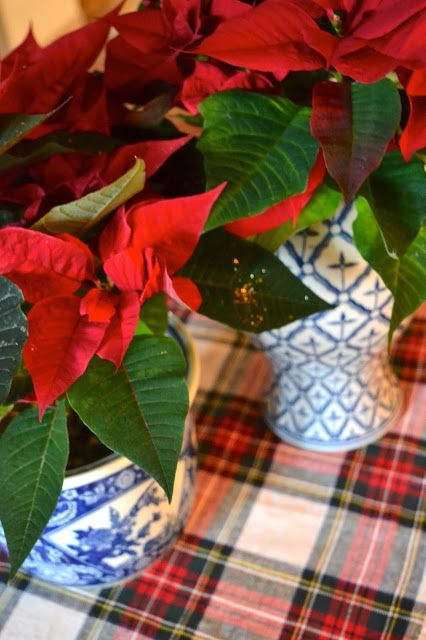poinsettias in blue and white vases