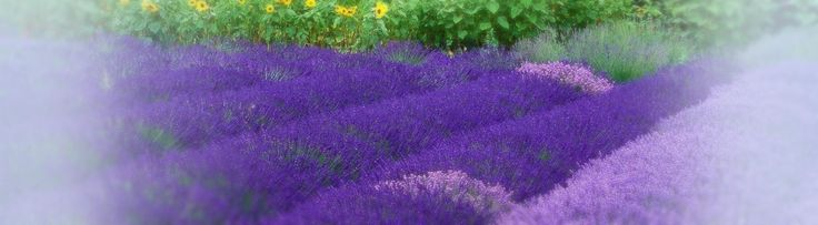 Many lavender varieties, including English, French Lavendins and Spanish types, are grown and sold by our certified organic farm in Sequim, Washington.