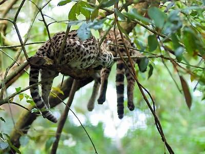 Cockscomb Basin Wildlife Sanctuary & Jaguar Preserve, Belize. Was there but didn't see this guy.