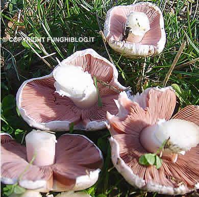 Una galleria di fotografie di funghi prataioli raccolti nei prati