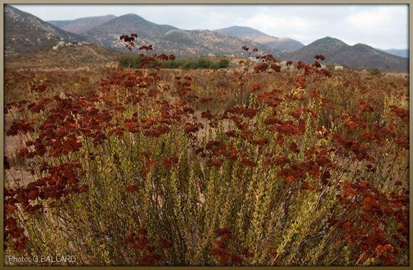 Native American Medicinal Plants Flat Top Buckwheat Wildflowers Medicinal Plants Plants