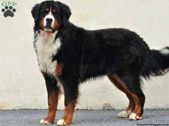 bernese mountain dog breeders image