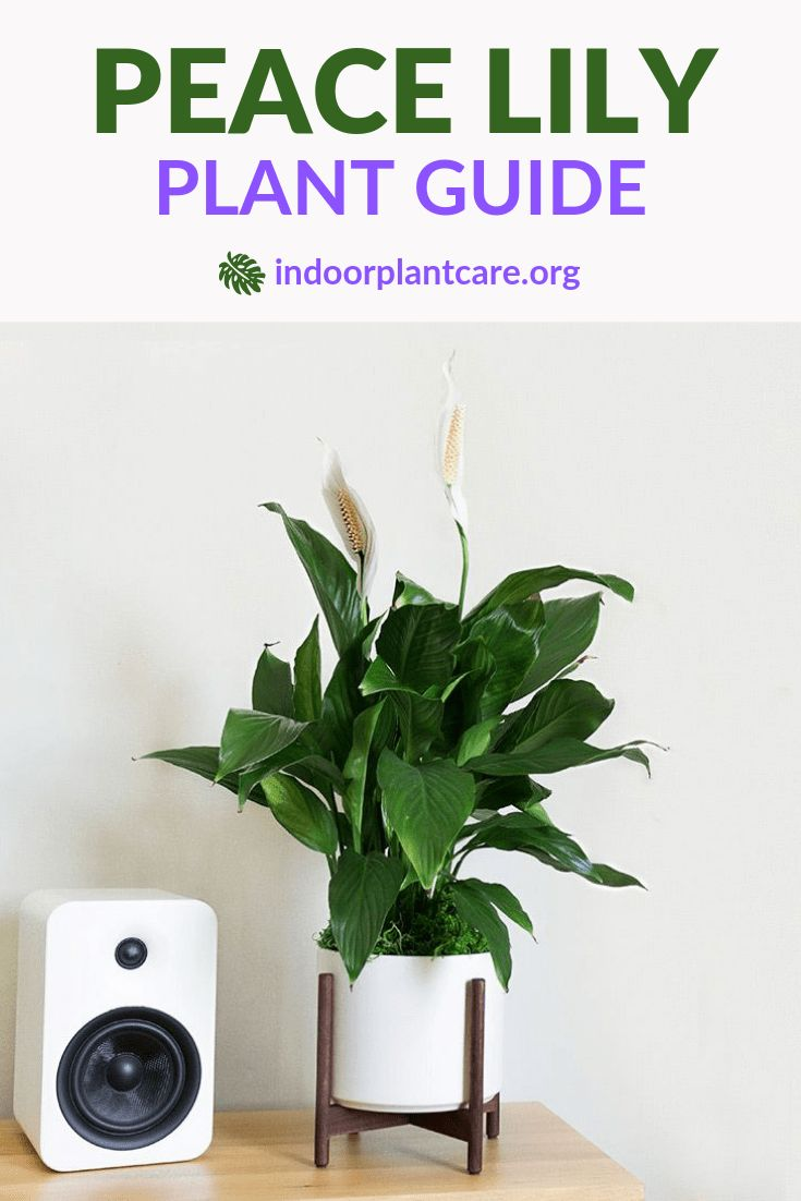 Peace lily care guide peace lily care lily care lily