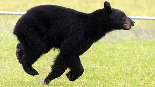Black Bear Running Bear Bear