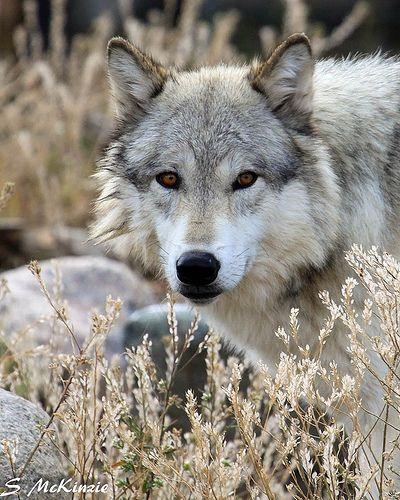 """wolfsheart-blog: """"Wolf by Steve McKinzie """""""