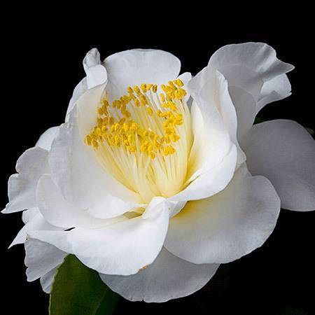 April Snow Camellia for Sale