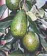 Grow Avocados indoors?