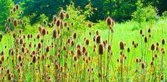 About - Teasel Root is a thistle plant that grows in Europe, Asia, the US, Canada, and other parts of the world with a moderate climate. Teasel Root, Dipsacus Japonica, or Xu Duan as it's called in...