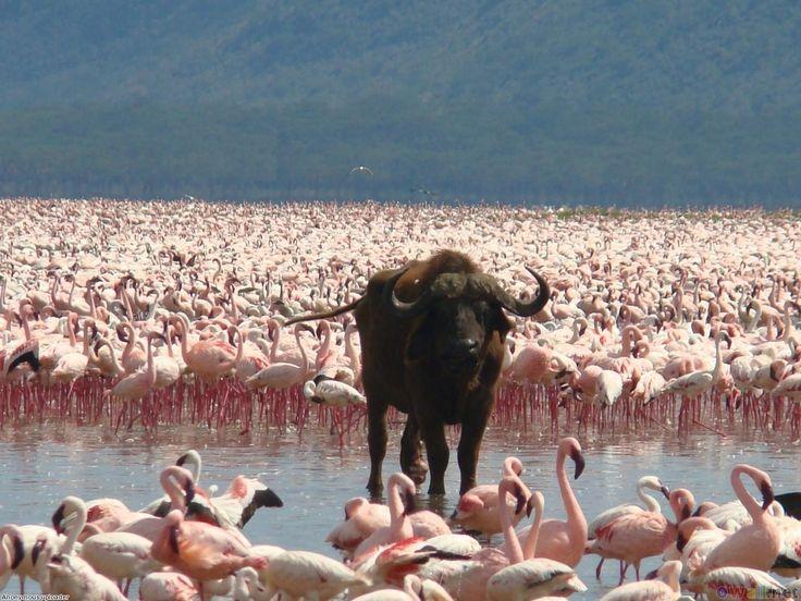 African buffalo and flamingos, Lake Nakuru National Park, Kenya